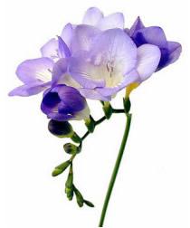 Canada Wholesale Florist, Direct Importer, Fresh Cut Flowers, Floral Supplies, Artificial Flowers, Plants & Trees, Glassware, Po
