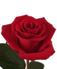 1 Trandafir Rosu