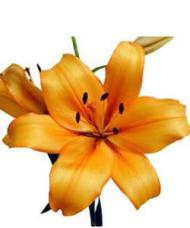 1 Crin Galben cu 5 flori