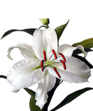 1 Crin Alb cu 5 flori