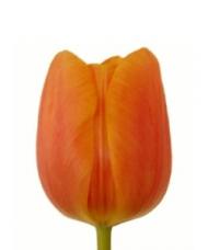 1 Lalea Portocalie